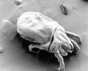 How many of these dust-mite critters are you sleeping with?